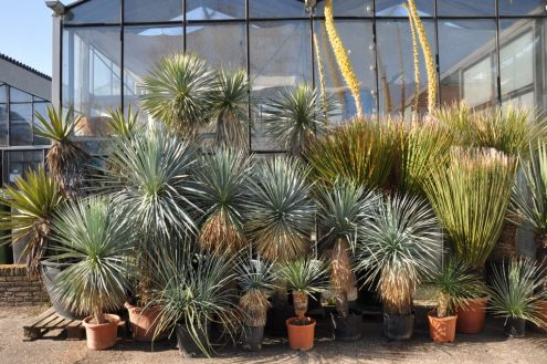 Yucca-rostrata-elata-carnerosana-thompsoniana-desert-plants