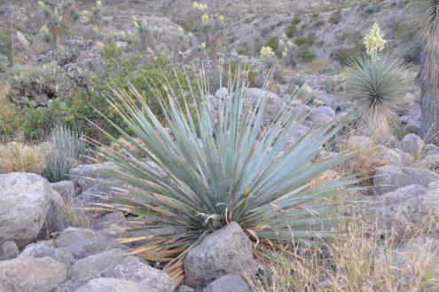 d-glaucophylum-met-daarachter-hybrides-van-y-rostrata-x-rigida-zw-deelstaat-coahuile-chihuahua-woestijn