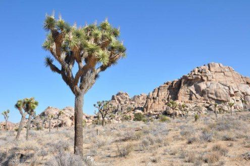 y-brevifolia