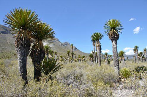 yucca-carnerosana-in-the-field-2