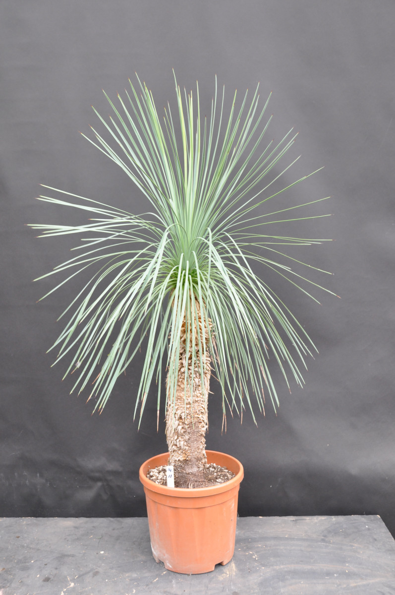 Yucca linearifolia middle (120-140 cm)